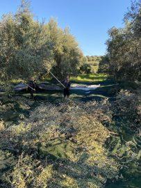 Der Dorfladen hochwertige Lebensmittel Griechenland online Olivenernte in Agios Thomas bei Messolongi